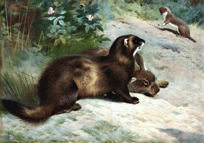 Thorburn_polecat_rabbit_&_weasel